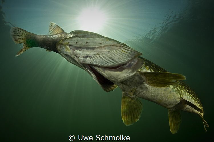 Trout eaten by Pike by Uwe Schmolke