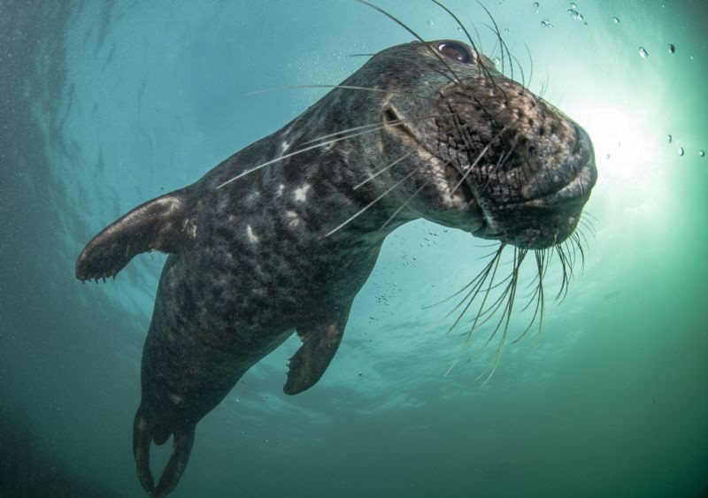 Playful Seal - Farne Islands UK by Spencer Burrows