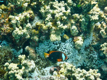 Anemone fish hanging out around his home. by Jessica Fagan