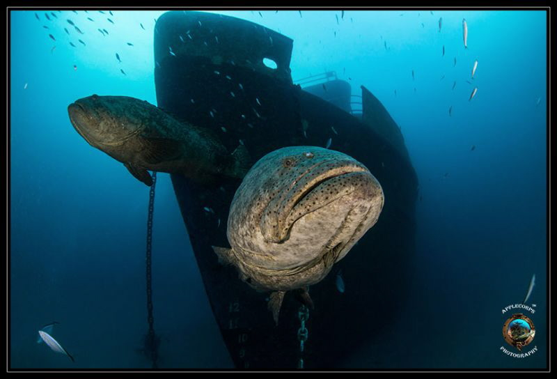 Goliath Grouper Guarding Ana Cecilia Recently Sunk Off Pa... by Richard Apple