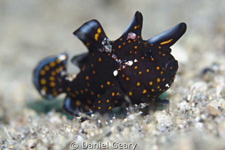 Juvenile Clown Frogfish mimicking a poisonous flatworm by Daniel Geary