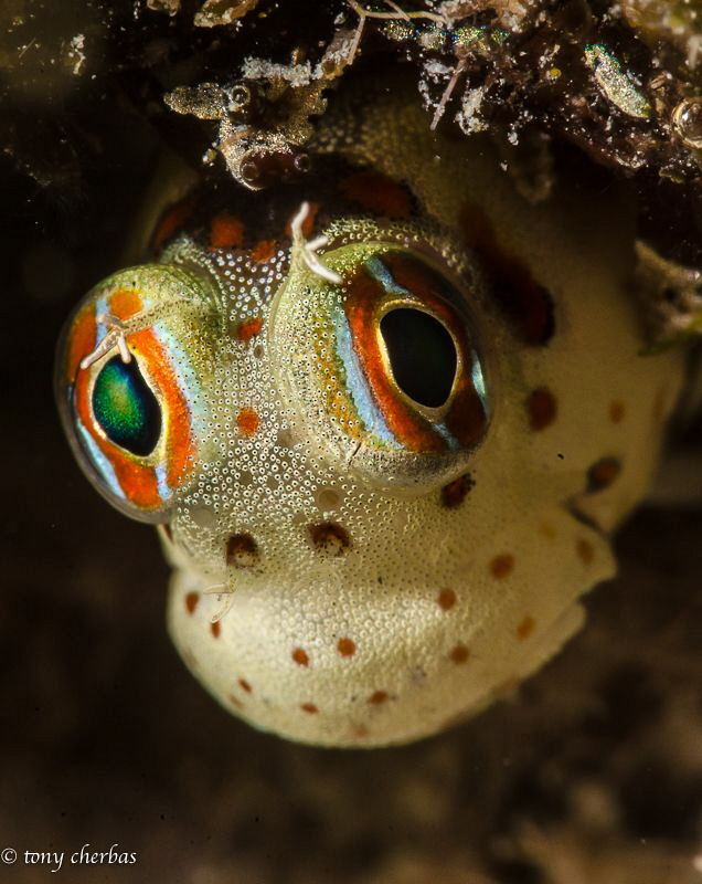 Tiny Blenny peeks out from its shelter to check if the co... by Tony Cherbas
