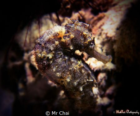 A lonely longsout seahorse by Mr Chai