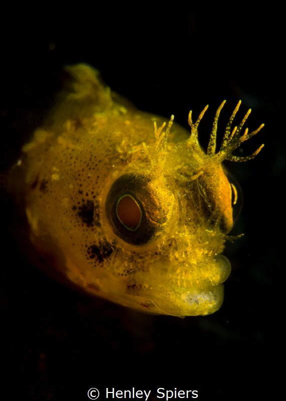 Halloween Roughhead Blenny by Henley Spiers