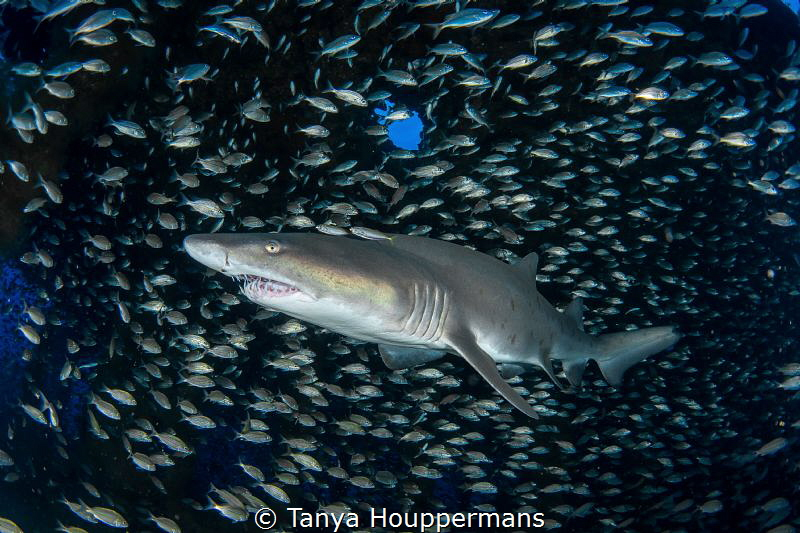 'Center of the Universe' - A sand tiger shark is surround... by Tanya Houppermans