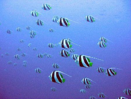 schooling bannerfish by Gordana Zdjelar