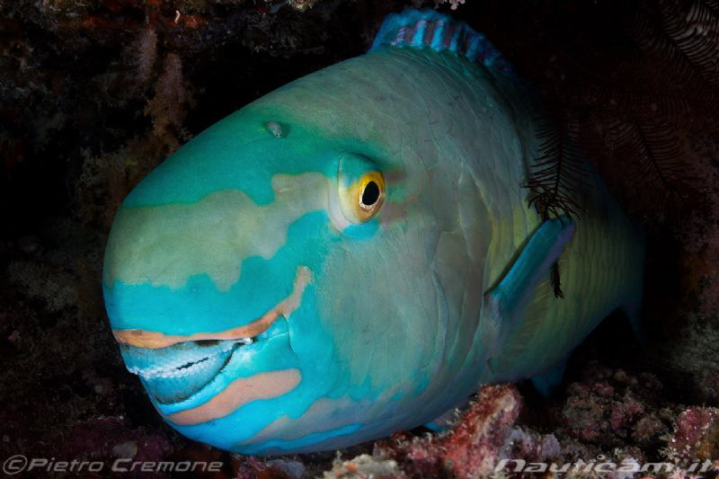 Parrot fish with guest by Pietro Cremone