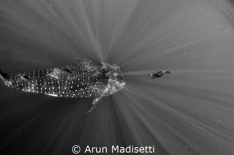 Franco Banfi gets up close to a 12m Whale shark by Arun Madisetti
