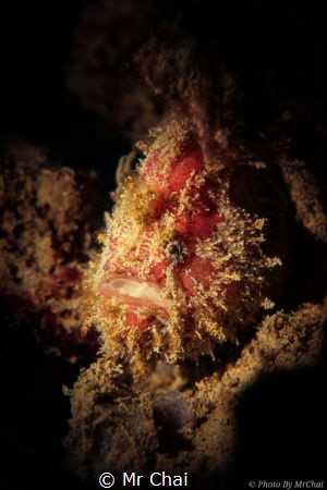 A frogfish that waiting for his prey
