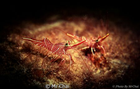 The square eyeball Red army shrimp (Rhynchocinetes Durba... by Mr Chai