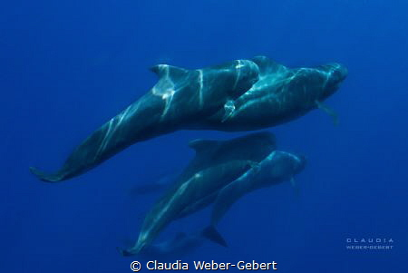 running with the crowd - pilot whales of Teneriffa by Claudia Weber-Gebert