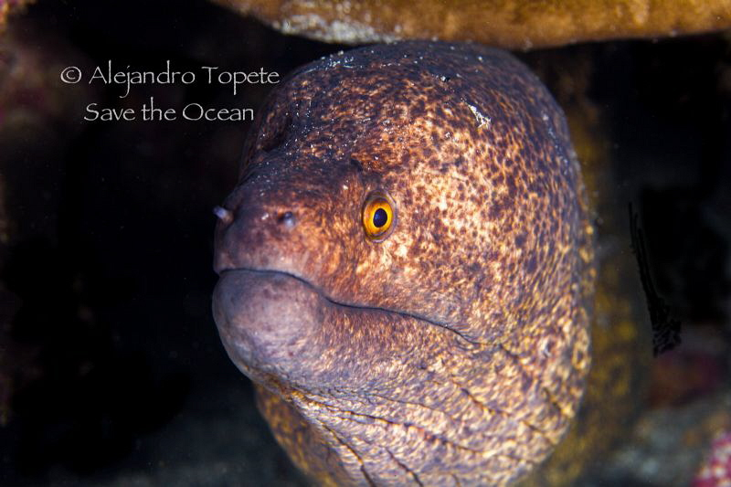 Gold Morey,Cocos Island Costa Rica by Alejandro Topete