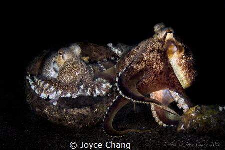 2 coconut octopus were fighting for a home when the stron... by Joyce Chang