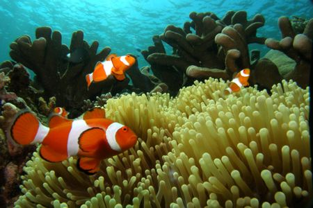 Clown Fish by Brad Cox