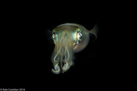 One of the little-known squid facts is that they have thr... by Kyle Castelyn
