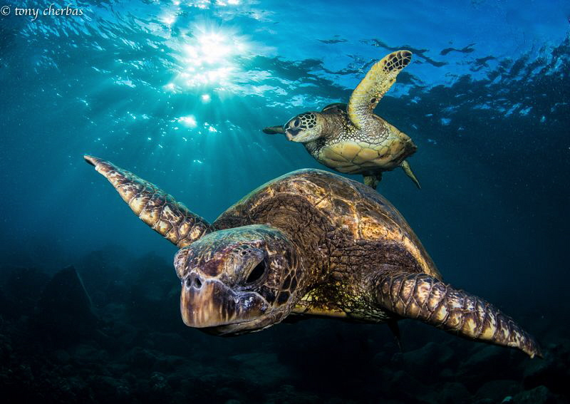 Honu Generations: Young and Old by Tony Cherbas