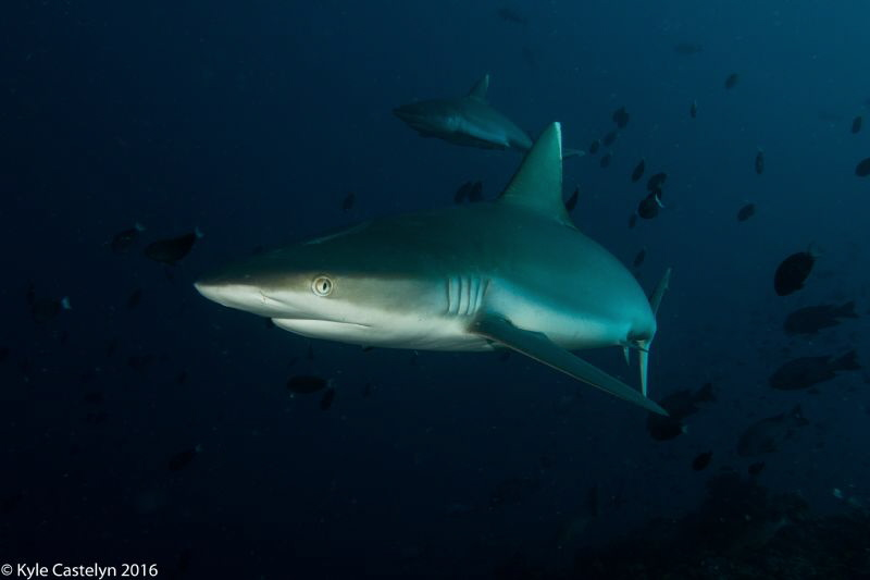 Still my favorite animal the Shark! by Kyle Castelyn