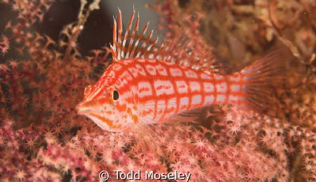 Long Nose Hawkfish Image cropped. by Todd Moseley