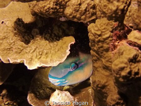 Sleeping Parrotfish by Jessica Fagan