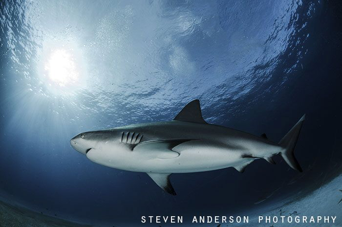 Reef Sharks are found on usually every dive throughout th... by Steven Anderson