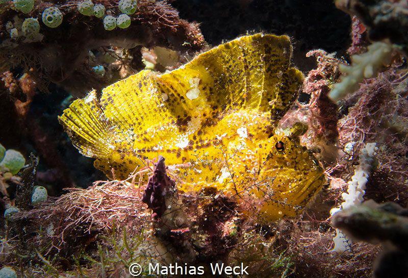 Leaf Fish at Bunaken Island by Mathias Weck