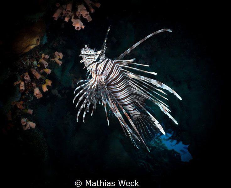 Lion Fish near Bunaken Island by Mathias Weck
