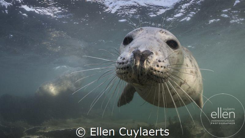 Wanna play? Grey seal in Farne Islands by Ellen Cuylaerts