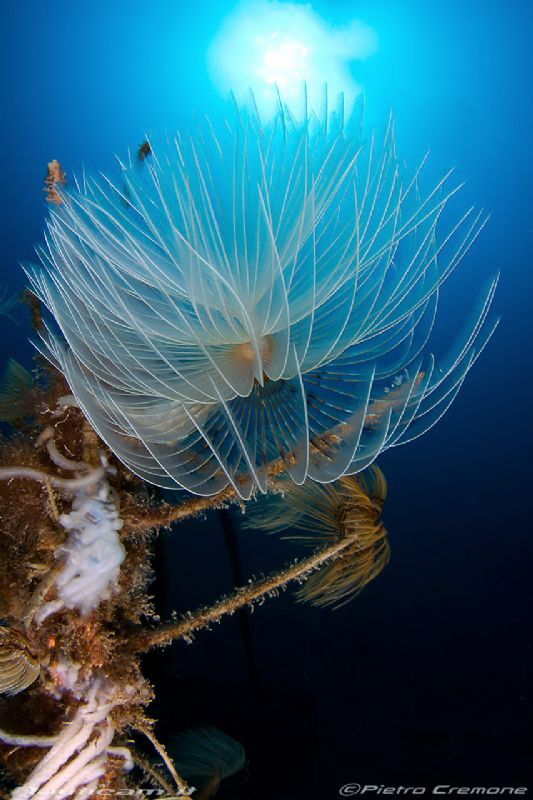 Feather duster and squid eggs by Pietro Cremone