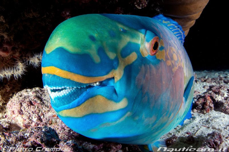 Parrotfish at night by Pietro Cremone