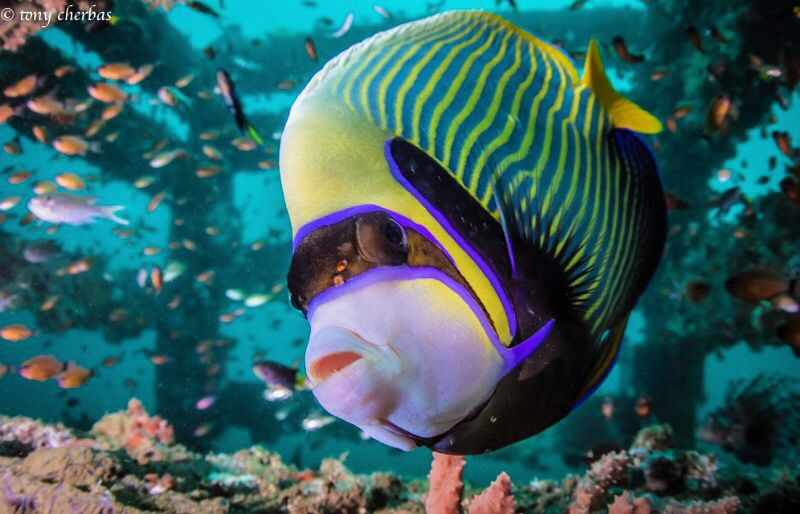 Emperor Angelfish inspects the dome port by Tony Cherbas