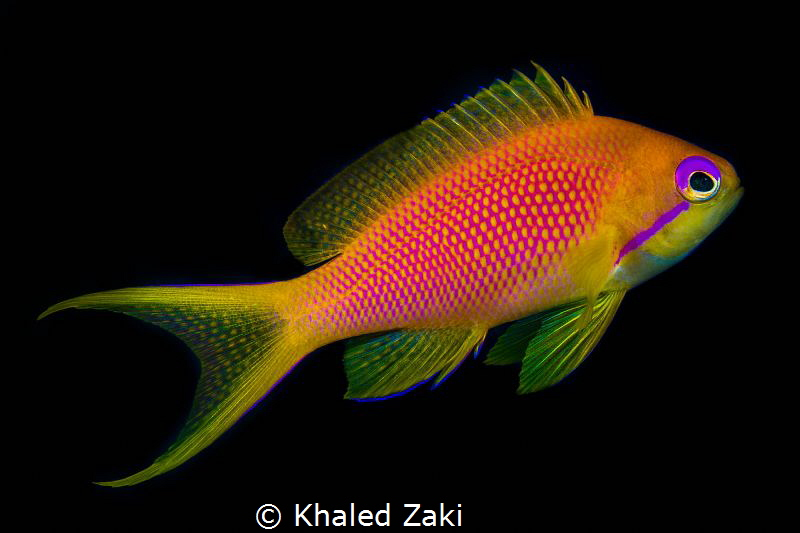 Lyretall Anthias by Khaled Zaki