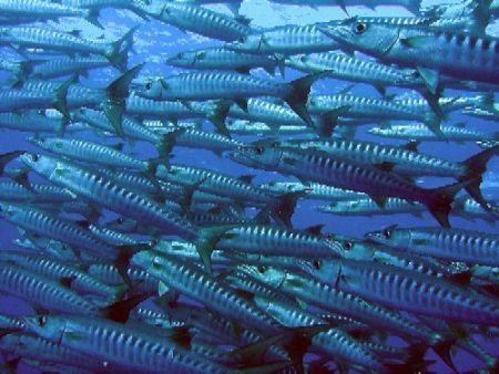 Huge shoal of barracudas by Gordana Zdjelar