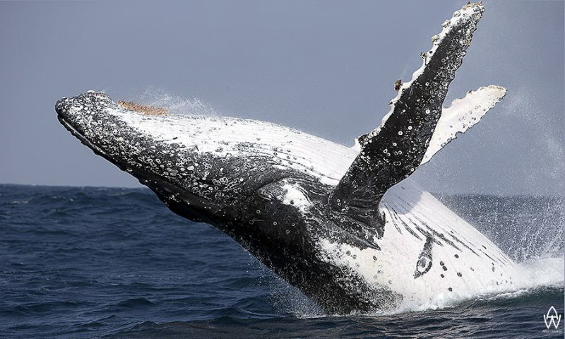 Breaching whale taken during the annual Sardine Run ;) by Allen Walker
