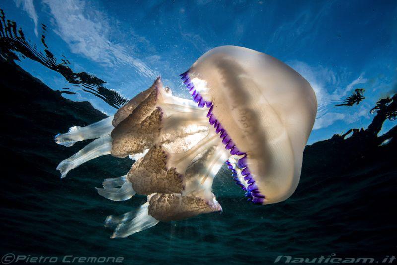 Sunny jellyfish by Pietro Cremone