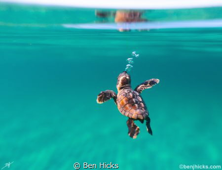 A loggerhead Sea turtle makes his or her way out to sea! by Ben Hicks