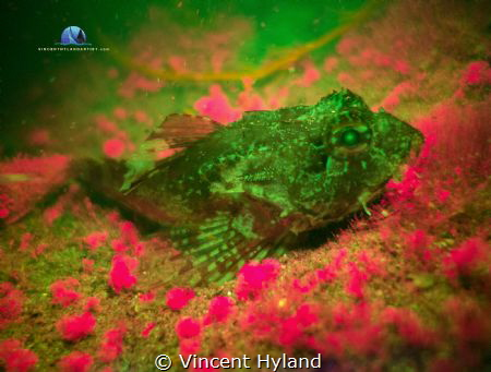 Kong spined Scorpion Fish fluorescing in November Atlanti... by Vincent Hyland