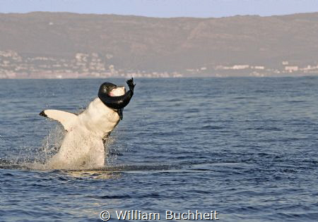 A great white takes a panicked seal in False Bay, South A... by William Buchheit