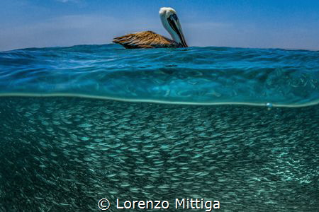 Overunder shot. A brown Caribbean Pelican is resting on i... by Lorenzo Mittiga