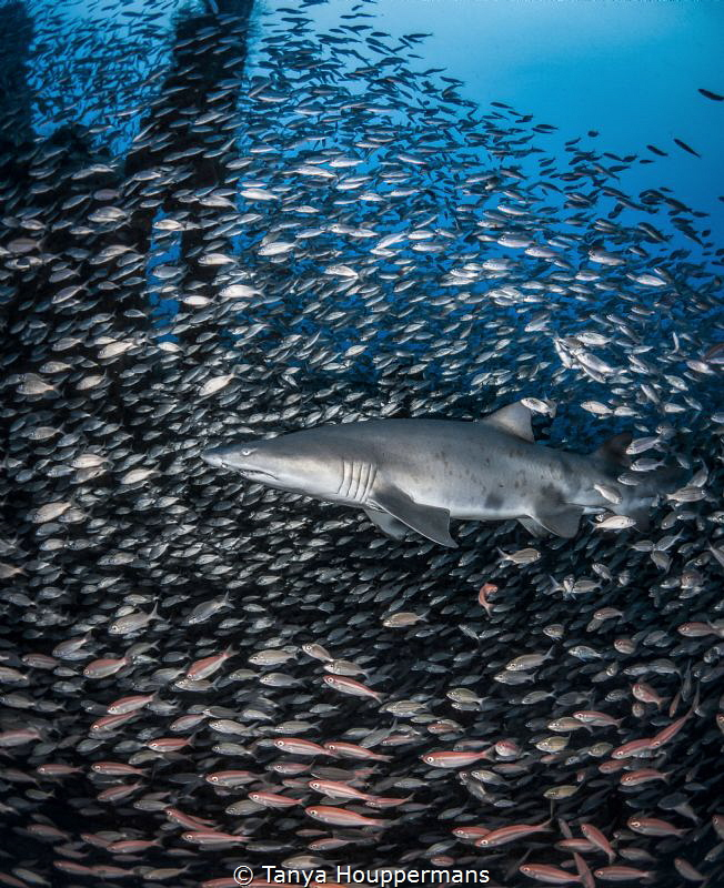 'A Few Thousand of My Closest Friends' - A sand tiger sha... by Tanya Houppermans