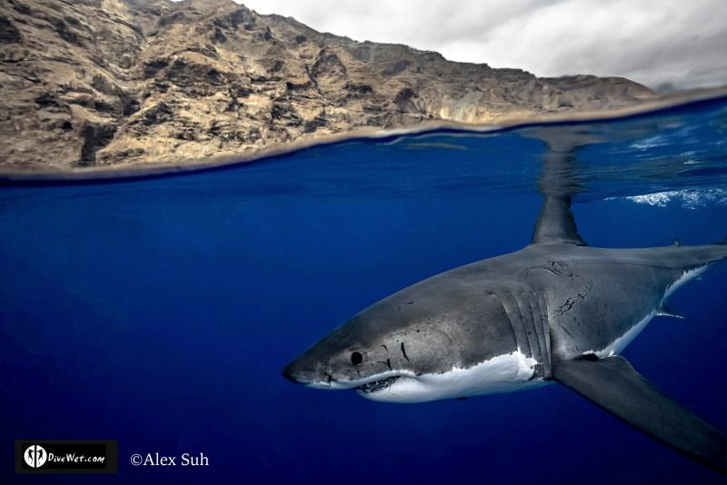 Over Under of Great White Shark in Isla Guadalupe, Mexico by Alex Suh