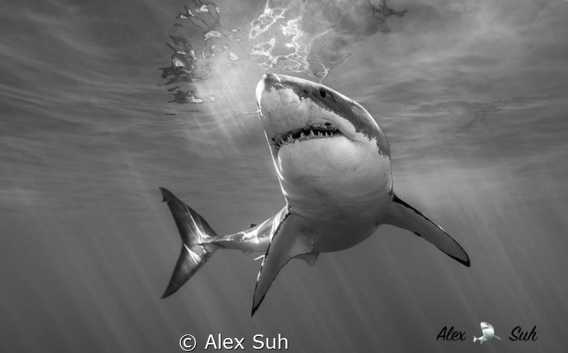 BW of Great White Shark by Alex Suh