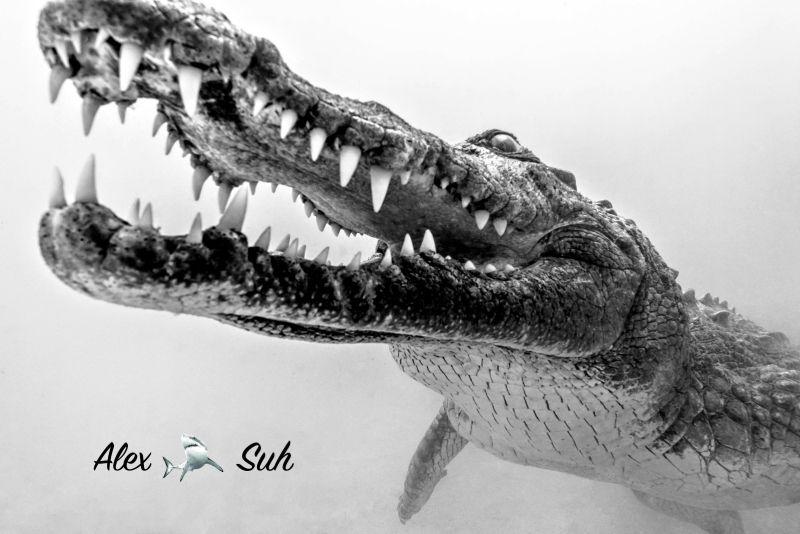 Crocodile diving in Banco Chinchorro, Mexico by Alex Suh