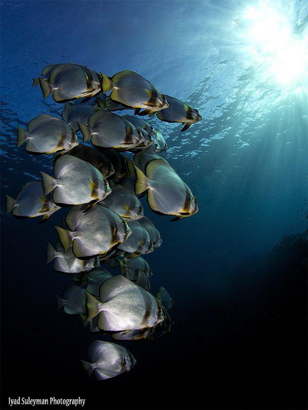 Schooling Batfish by Iyad Suleyman