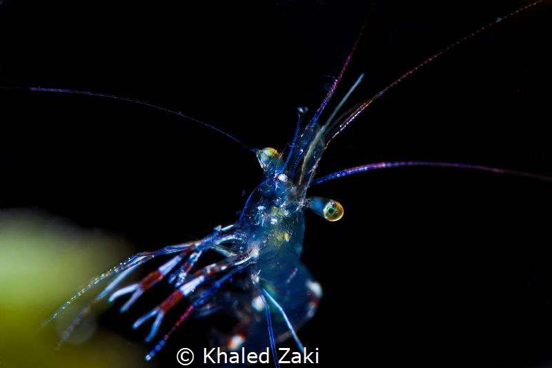 Shirimp@Night by Khaled Zaki