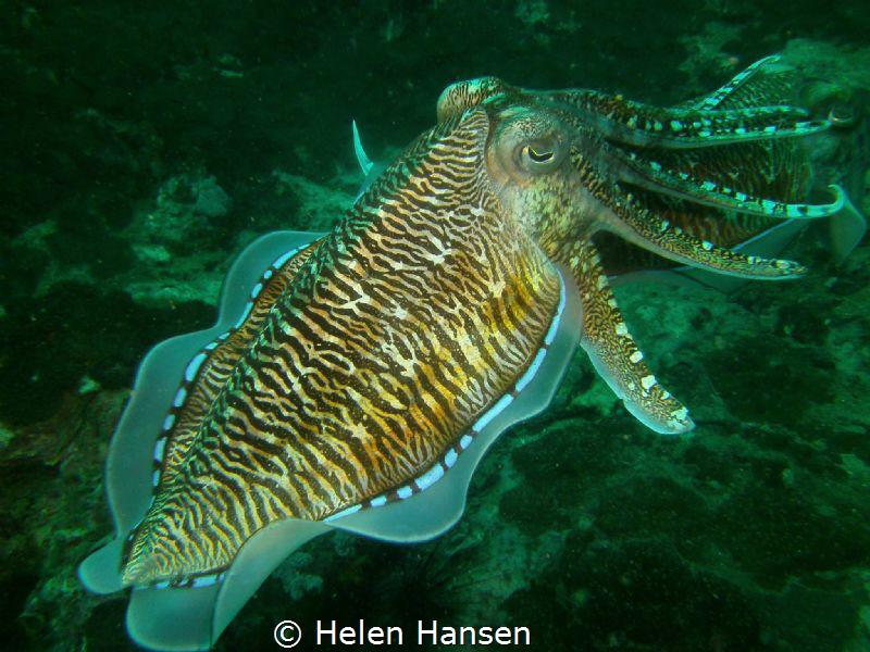 Cuttlefish Fish by Helen Hansen