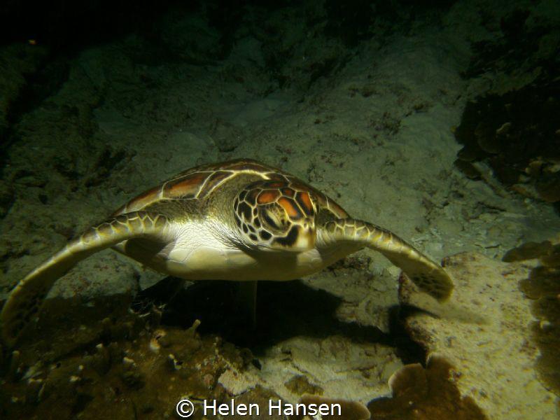 Turtle on night dive by Helen Hansen