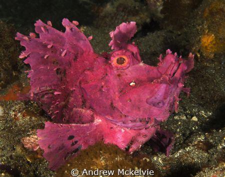 Paddle Flap Rhinopia looked purple, but is magenta under ... by Andrew Mckelvie