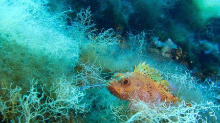 Orange stone fish by David Ferreira