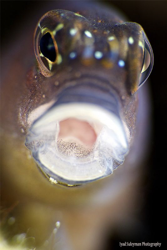 Blenny from the UAE by Iyad Suleyman