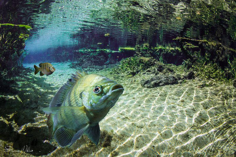 Sunfish composite scene in Florida Springs by Steven Miller